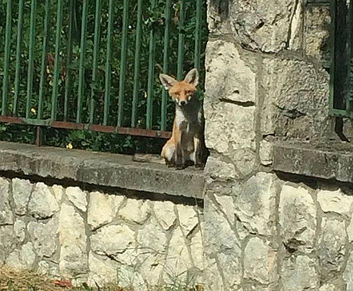 A kis róka a Meredek utcában, az Arany János Gimnázium kerítésén