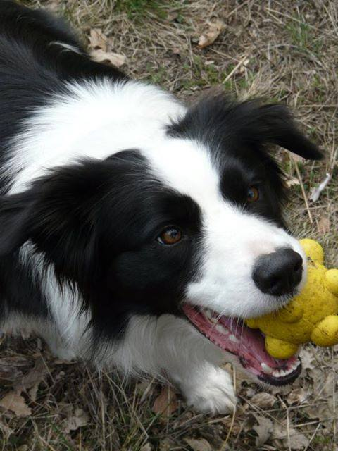 Zorka, a border collie